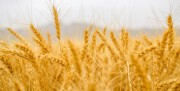 پیشبینی خرید ۲۰ هزار تن گندم در تعاون روستایی همدان